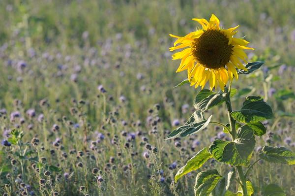 SunflowerFiled_Echichens_0012