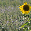 SunflowerFiled_Echichens_0012