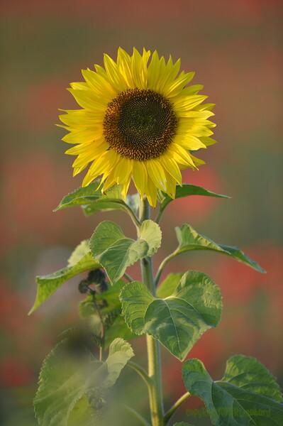 Sunflower_Apple_01112016 (30)