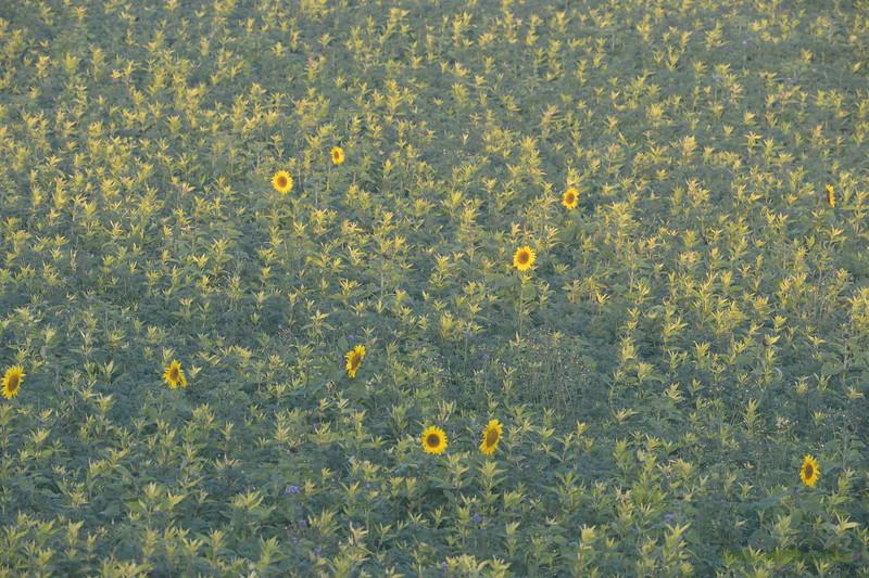 Sunflower_Apple_01112016 (4)