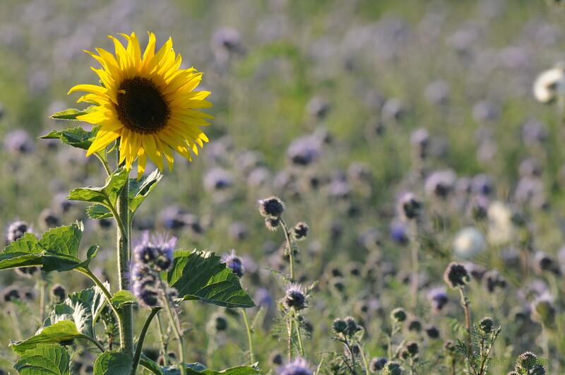 SunflowerFiled_Echichens_0007