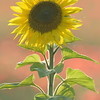 Sunflower_Apple_01112016 (81)