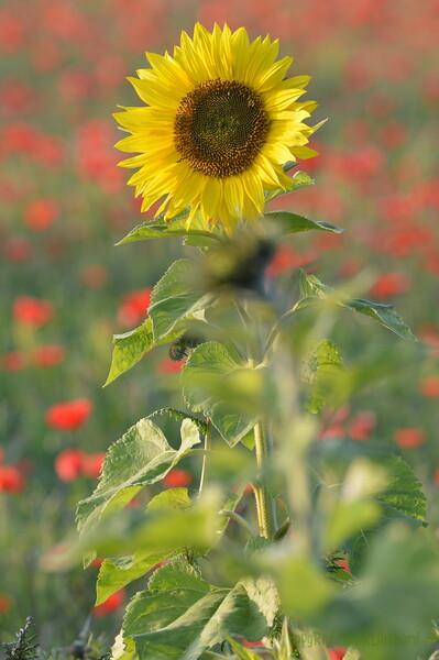 Sunflower_Apple_01112016 (50)