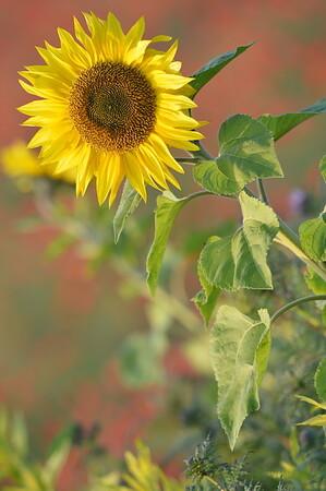 Sunflower_Apple_01112016 (33)