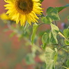 Sunflower_Apple_01112016 (33)