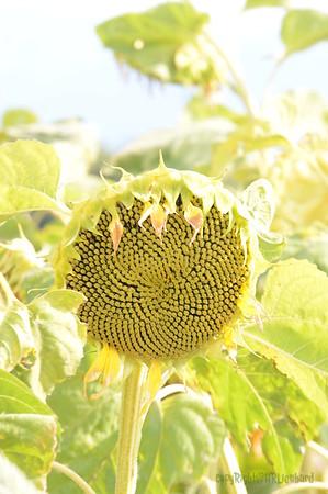 Sun_Flower_Echichens_01092013_0333