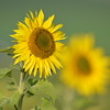 Sunflower_Apple_01112016 (126)