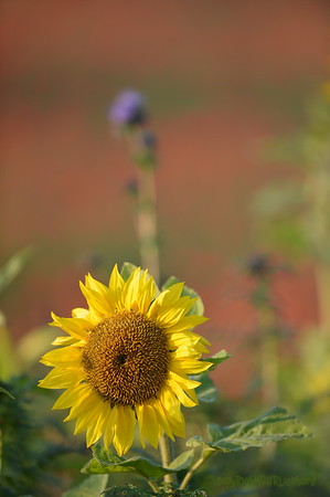 Sunflower_Apple_01112016 (58)