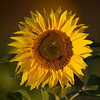 Sunflower_Apple_30102016 (43)