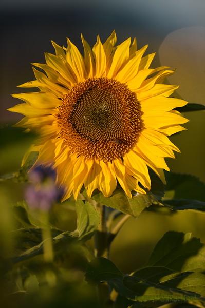 Sunflower_Apple_30102016 (58)