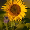 Sunflower_Apple_30102016 (58)