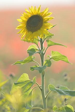 Sunflower_Apple_01112016 (108)