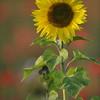 Sunflower_Apple_01112016 (21)