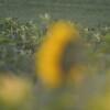 Sunflower_Apple_30102016 (36)