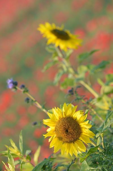 Sunflower_Apple_01112016 (40)
