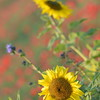Sunflower_Apple_01112016 (40)