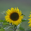 Sunflower_Apple_30102016 (5)