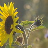 Tournesol_Facilea_Champs_Denens_Oct-2008_0005