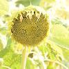 Sun_Flower_Echichens_01092013_0332