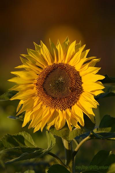 Sunflower_Apple_30102016 (46)