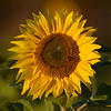 Sunflower_Apple_30102016 (46)