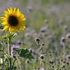 SunflowerFiled_Echichens_0006
