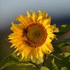Sunflower_Apple_30102016 (29)