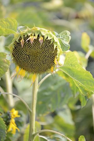 Sun_Flower_Echichens_01092013_0305