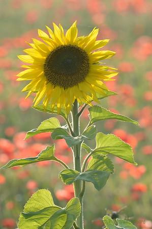 Sunflower_Apple_01112016 (99)