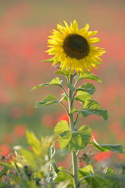 Sunflower_Apple_01112016 (63)