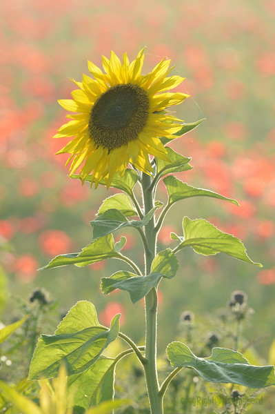 Sunflower_Apple_01112016 (101)