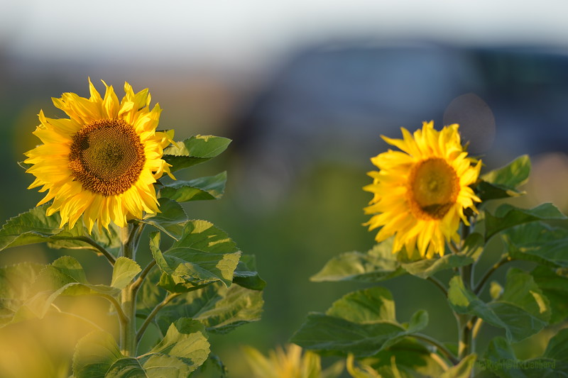 Sunflower_Apple_30102016 (16)