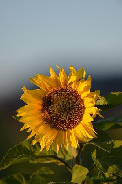 Sunflower_Apple_30102016 (22)