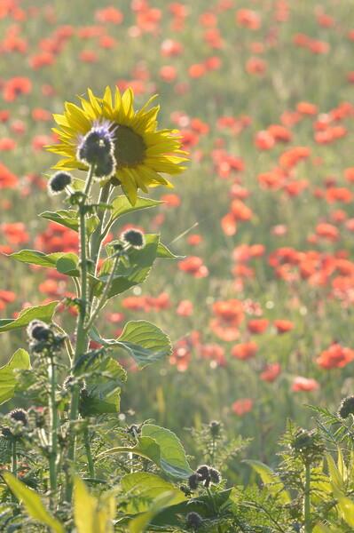 Sunflower_Apple_01112016 (85)