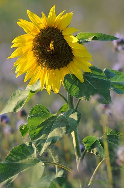 SunflowerFiled_Echichens_0022