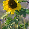SunflowerFiled_Echichens_0022