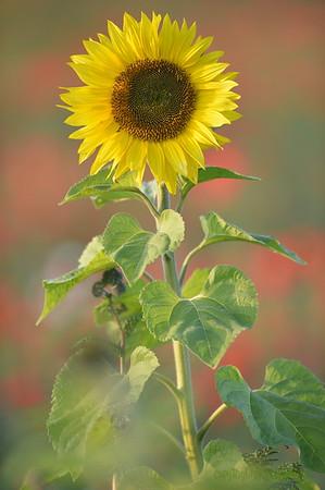 Sunflower_Apple_01112016 (31)