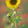 Sunflower_Apple_01112016 (31)