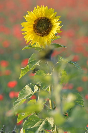 Sunflower_Apple_01112016 (49)