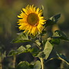 Sunflower_Apple_30102016 (66)