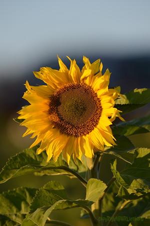 Sunflower_Apple_30102016 (32)