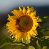 Sunflower_Apple_30102016 (32)