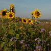 Tournesol_Facilea_Champs_Denens_Oct-2008_0020