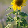 SunflowerFiled_Echichens_0028
