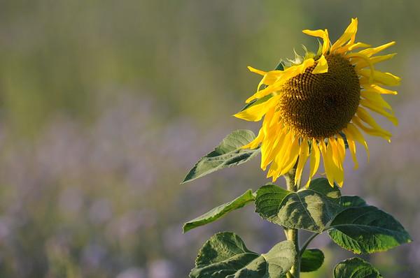 SunflowerFiled_Echichens_0026