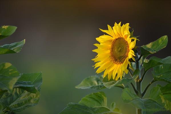 Sunflower_Apple_30102016 (9)