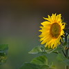 Sunflower_Apple_30102016 (9)
