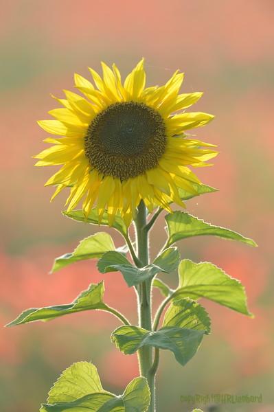 Sunflower_Apple_01112016 (93)
