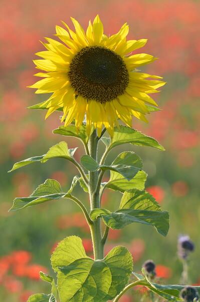 Sunflower_Apple_01112016 (78)