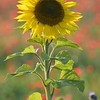 Sunflower_Apple_01112016 (78)